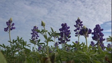 Mild winter, wet spring leads to early Texas wildflower bloom