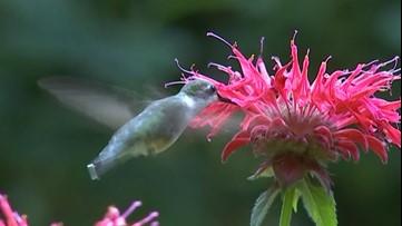 Flight of the hummingbirds!