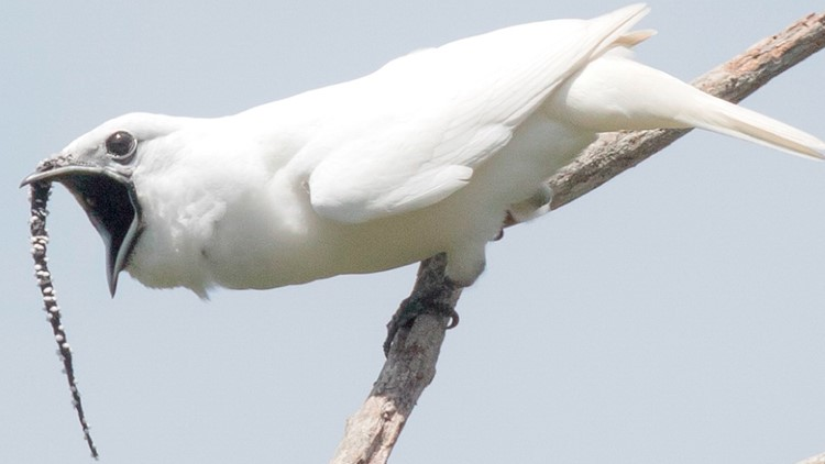 Listen to the Loudest Bird on Earth Scream at Potential Mates