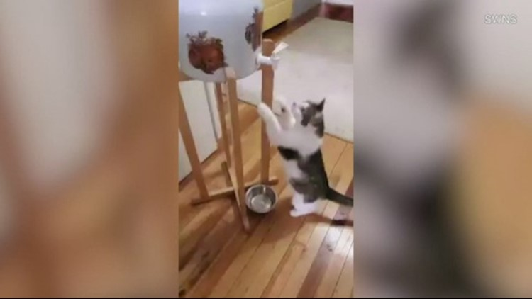 This Cat Is So Smart, He Figured Out How to Operate a Water Cooler