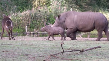 This Baby Rhino Playing is Too Cute!