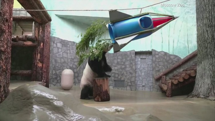 Panda Express! A Panda at a Russian Zoo Has an Out-of-This-World Experience With a Bamboo Rocket Ship!
