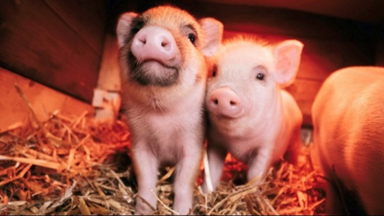 Adorable Baby Piglets Playing Around is the Video You Need to Watch!