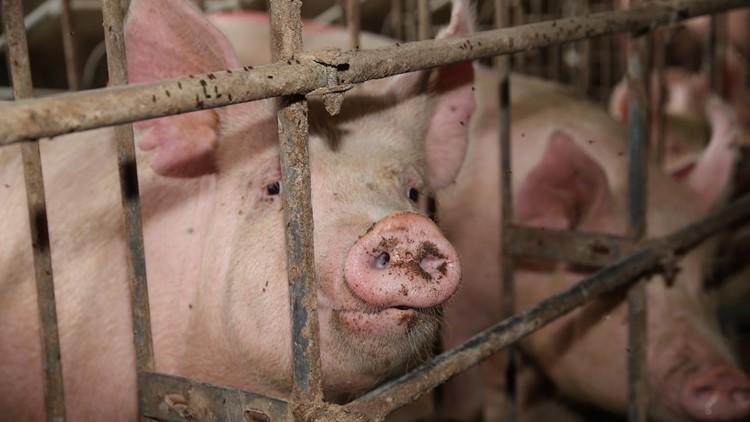 hog farm pigs meatpacking
