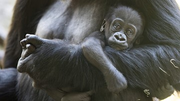 Baby gorilla recovering after family fight at Seattle zoo