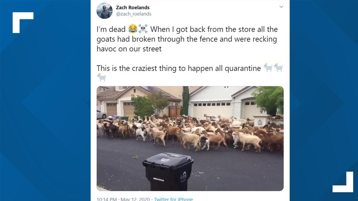 200 goats escape, run wild in California neighborhood