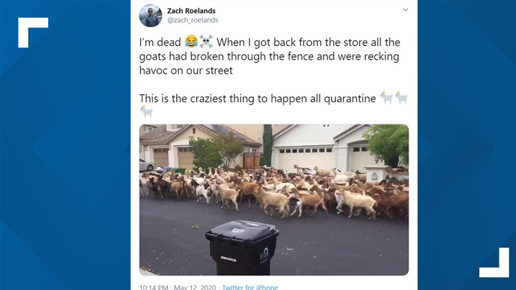 200 goats escape, run wild in California neighborhood