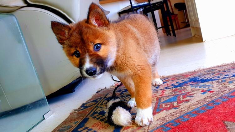 Australia alpine dingo believed dropped by eagle