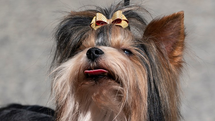 Westminster dog show this weekend features new breeds and new venue
