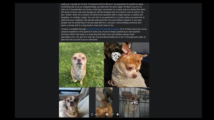 '13 lb rage machine': Woman writes hilarious bio for 'demonic' foster Chihuahua