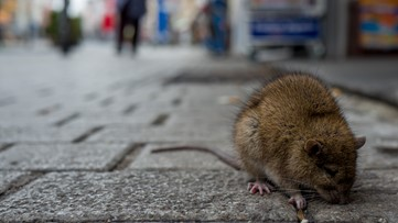 CDC warns of aggressive rodents amid coronavirus restaurant closures