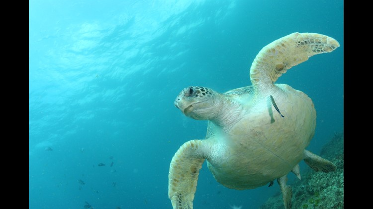 Research finds even a single piece of plastic can kill a sea turtle. The ingestion of plastic has been linked to a sea turtle's cause of death.