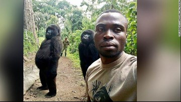 Orphaned gorillas strike a pose in selfie with park ranger
