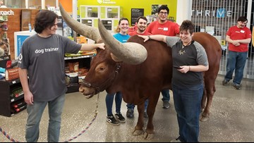 Man's giant steer on a leash tests Petco's pet policy