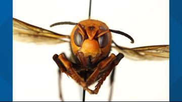 University seeks public's help hunting invasive Asian Giant Hornet