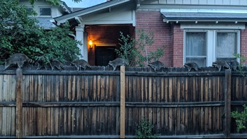 This man's yard was graced with a 'conga line' of raccoons