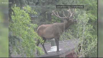 We have a lot of questions about this elk standing on a Colorado roof