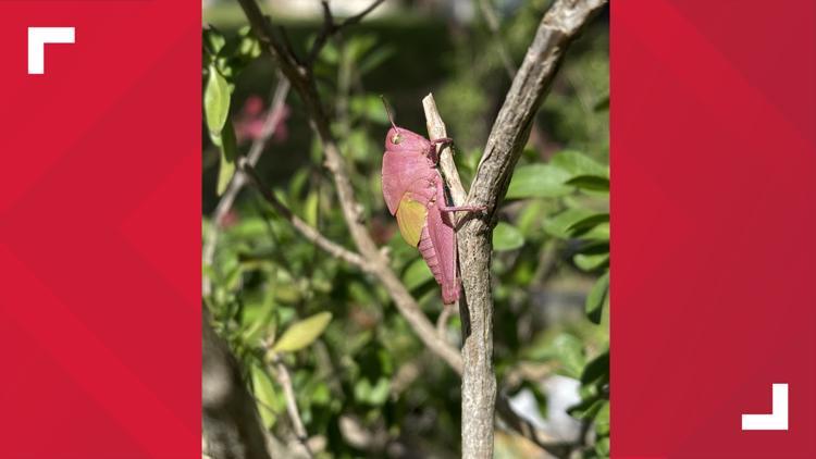 Rare pink grasshopper found in Texas neighborhood