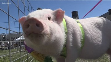 Pig Rescue hosts pig pageant to promote education about pigs