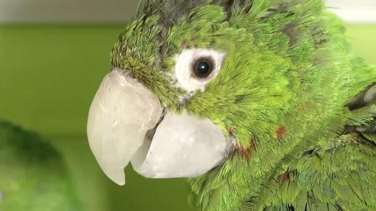 Vet Produces Custom-Made Prosthetics Giving Beakless Birds a Second Chance