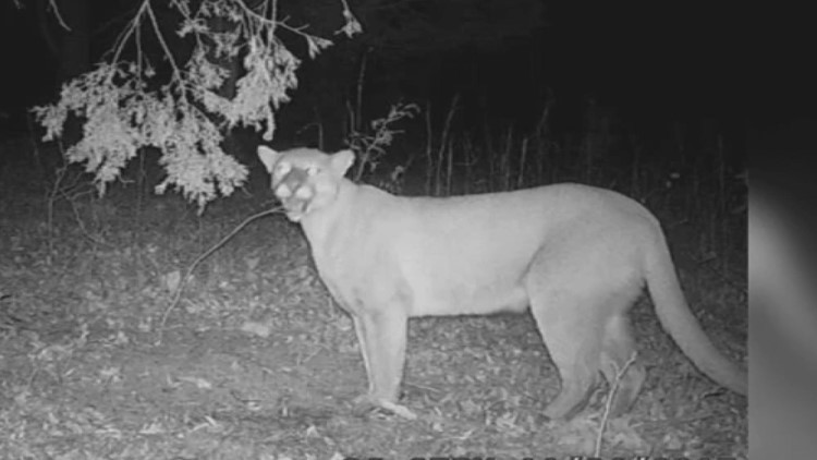 Yes, cougars and alligators are migrating to Tennessee, officials say