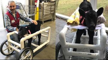 Lowe's employee in North Carolina builds custom wheelchair for injured calf