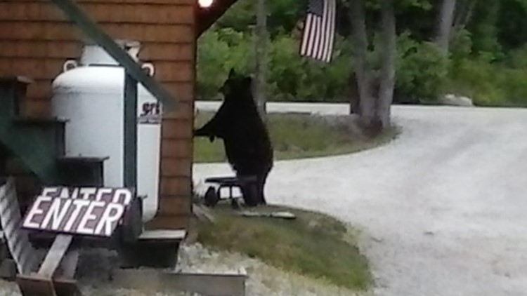 A bear can't resist the pies at the Puzzle Mountain Bakery.
