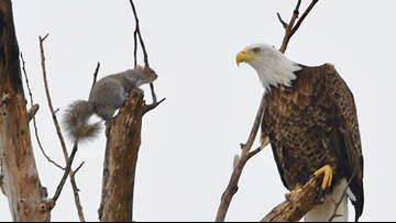 Forget cat and mouse, this is a game of squirrel and eagle