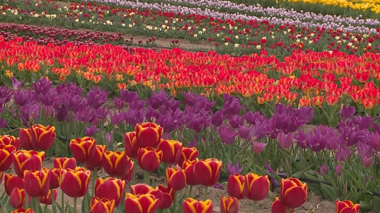 New Texas tulip farm and the beautiful purpose behind it