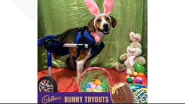 2-legged dog from Ohio wins contest to become next Cadbury Bunny