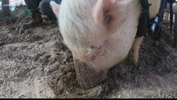 Pig cuddles needed in Leesville