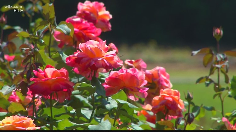 City of Orangeburg leaders to decide 2021 Festival of Roses fate