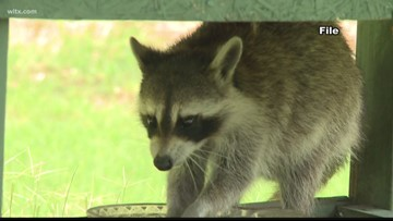 Raccoon tests positive for rabies in Forest Acres, officials say
