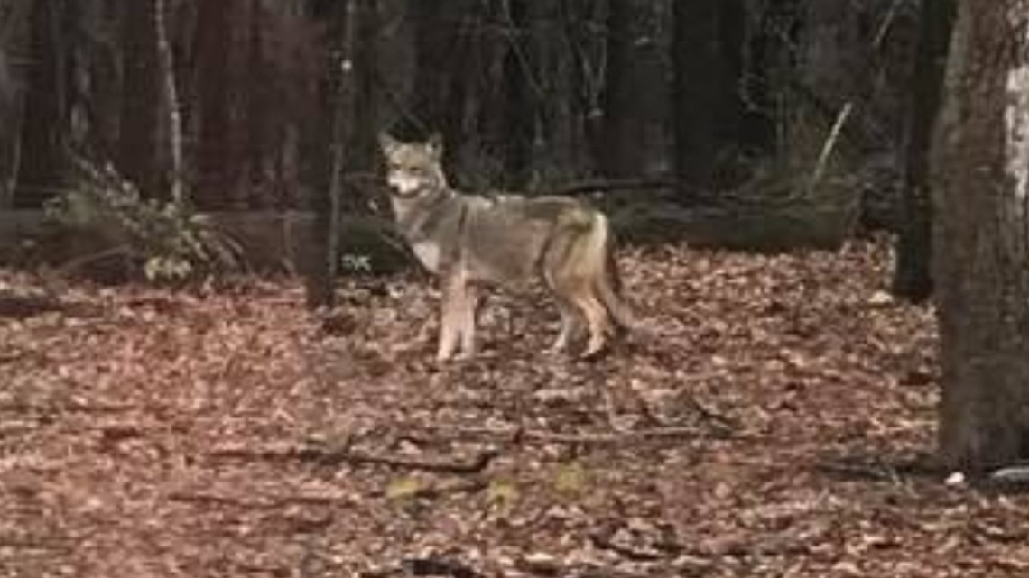 Woman spots coyote in the woods at Irmo park