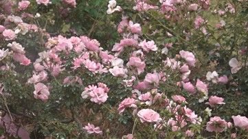 Virus postpones Orangeburg Festival of Roses to the fall