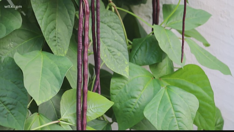 Yard Long Beans: A Great Choice for Summer Gardens in the South