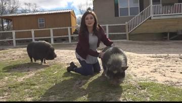 Pig cuddlers wanted in Leesville