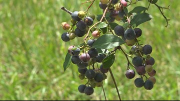 Where to find fresh blueberries in Sumter County-you can even pick your own