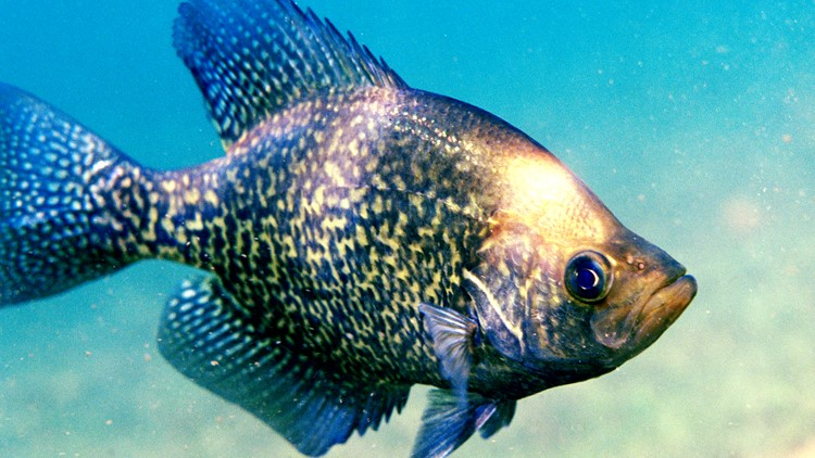 Hook, line and... Crappie USA fishing tournament comes to Santee