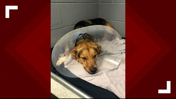 Dog found hanging from South Carolina fence rescued, awaiting surgery