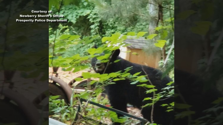 Black Bear in Newberry