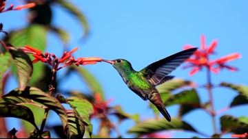 Can Hummingbirds Take The Heat?