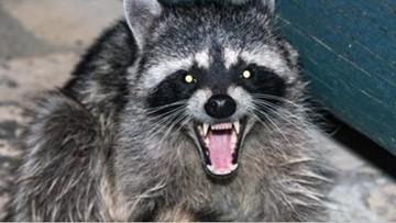 Rabid raccoon exposes five  to rabies in South Carolina