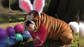 North Carolina bulldog named Cadbury's newest bunny