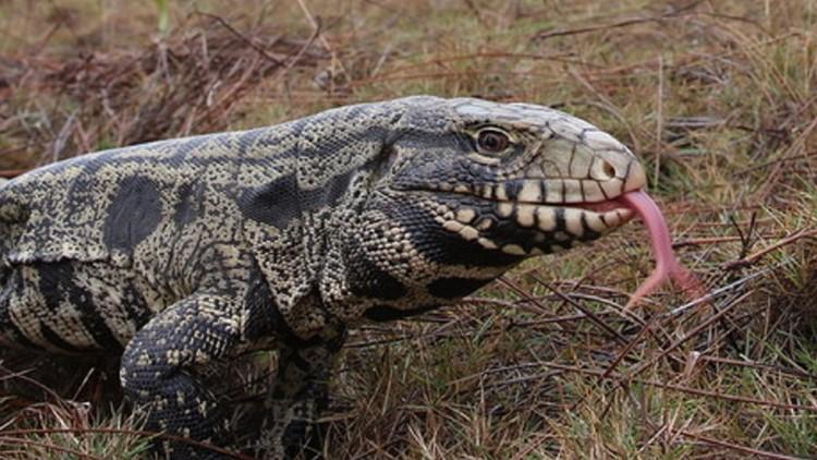 How to register your tegu lizard in South Carolina