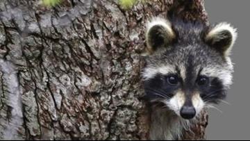Raccoons drunk on crab apples cause rabid animal scare in West Virginia, police say