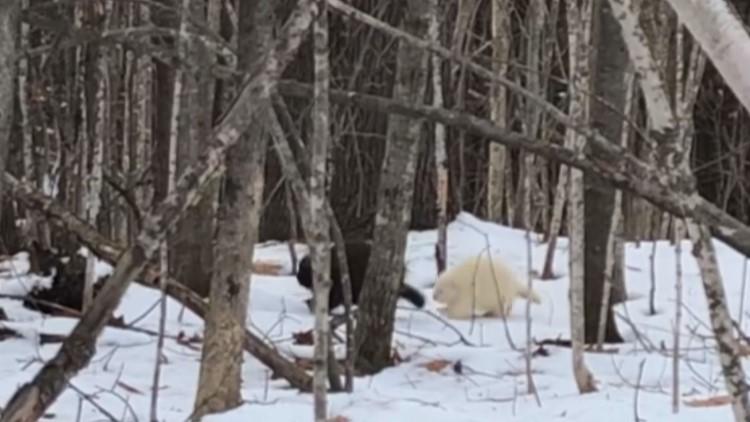 Rare albino porcupine waddles through Maine woods