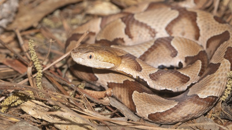 Sumter family has copperhead scare, warns others to 'watch where they're walking'