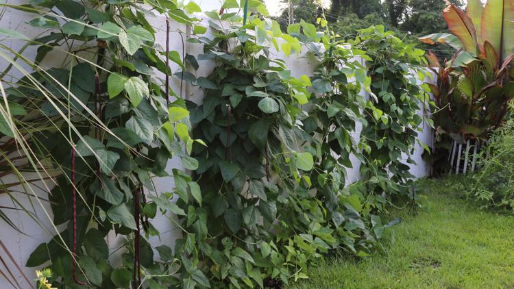 Growing Yardlong beans in WLTX Gandy's Garden