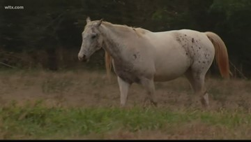 Upstate horses attacked by wild boars, not person